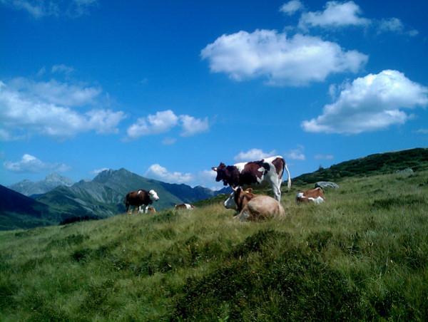 Arnensee Cows