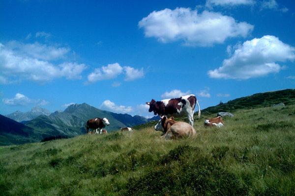 Arnensee-Cows1.jpg