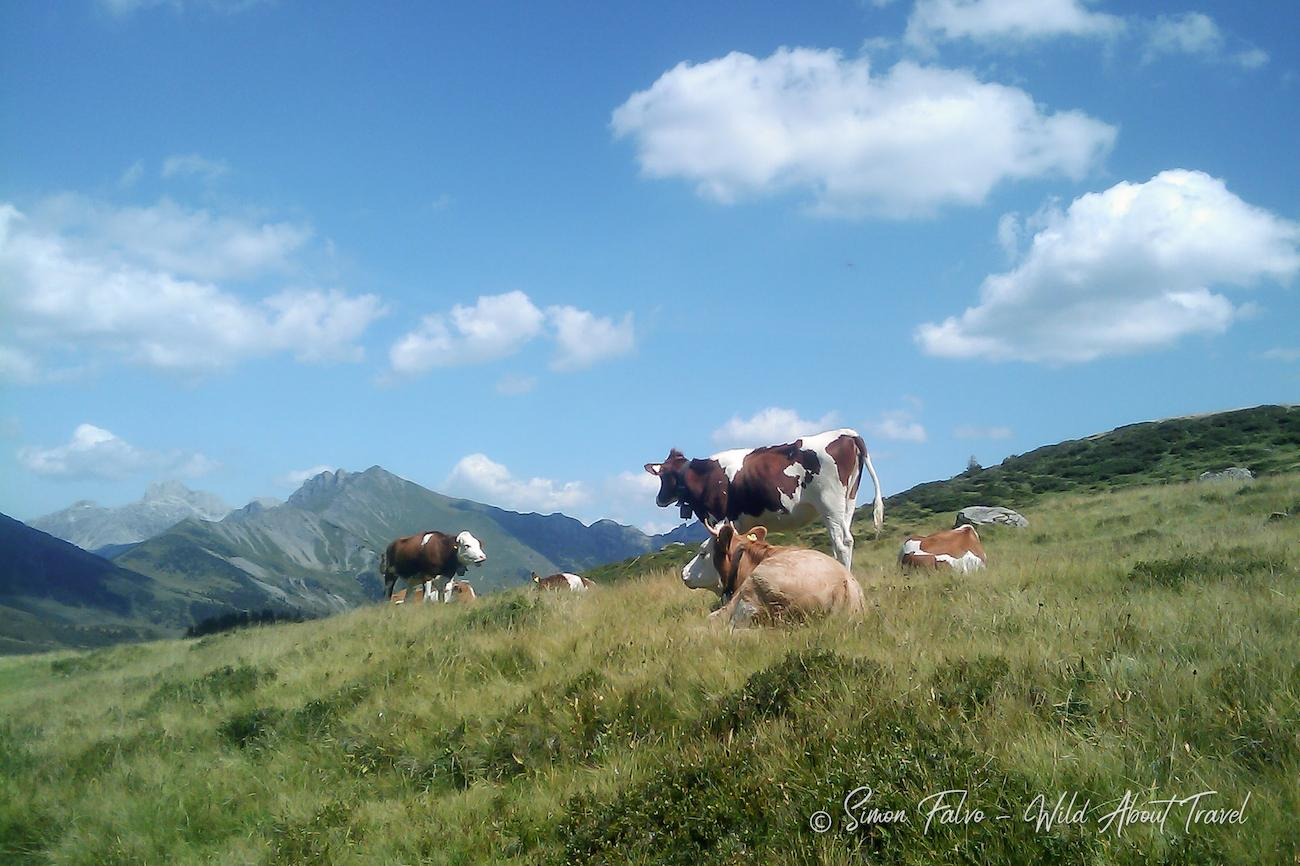 Switzerland Cows and Meadows