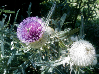 Thistles-along-Arnensee-Path