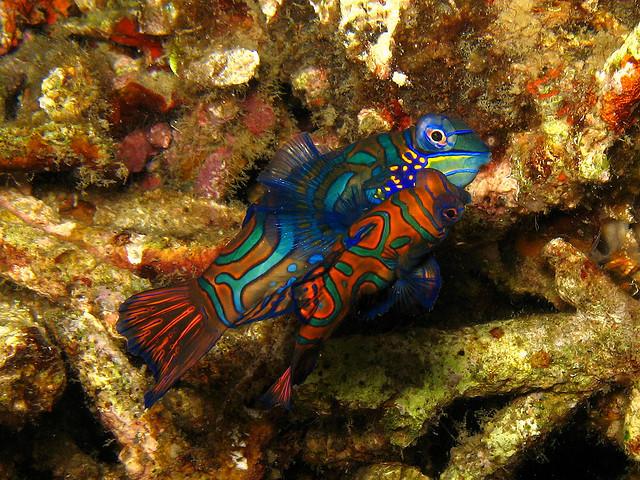 Mandarin Fish - Lembeh