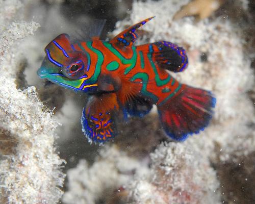 Red-Mandarin-fish