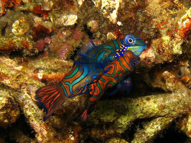 Mandarin-Fish-Mating