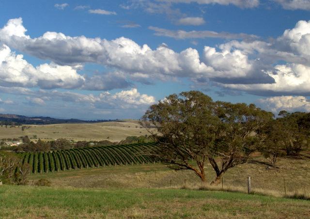 Vineyars-Orange-NSW