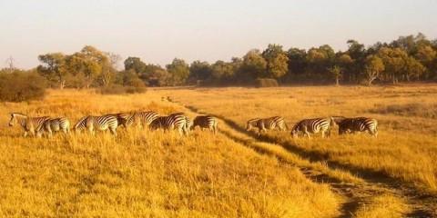 Zebras in Botswana