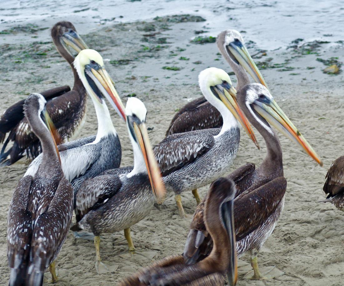 Peru, Pelicans in Paracas