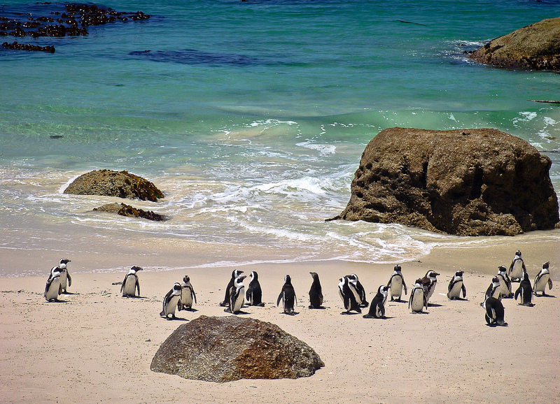 South Africa, Penguins at Boulders Beach