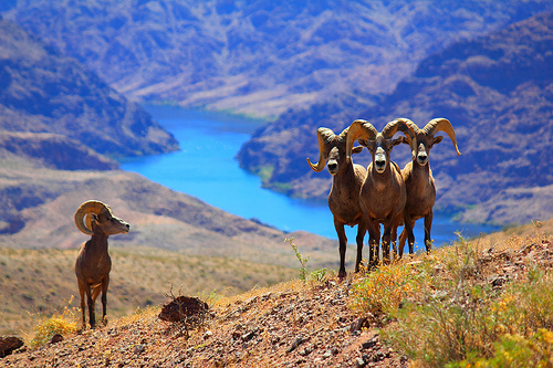 Big Horn Sheeps