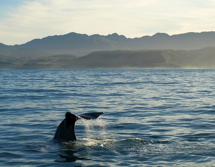 Sperm-Whale-New- Zealand