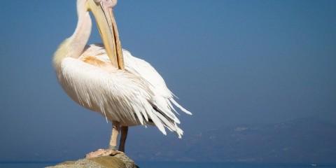 White Pelican in Mykonos