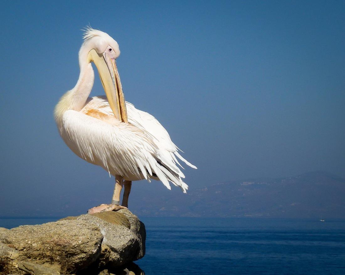 White Pelican in Mykonos