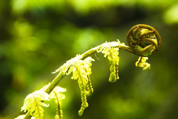 Delicate SIlver Fern Green Stem