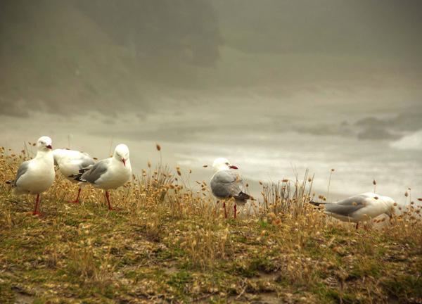 Northland Seagulls