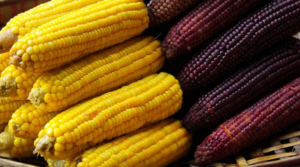 Yellow and Purple Corn