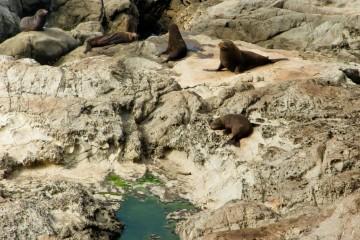 Fur Seals Near KaiKoura