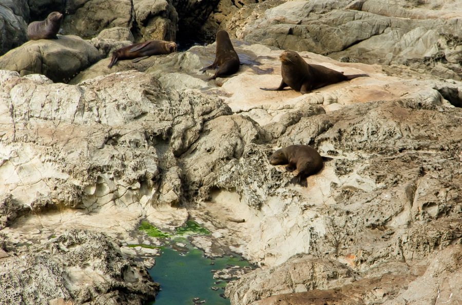 Fur Seals Near KaiKoura