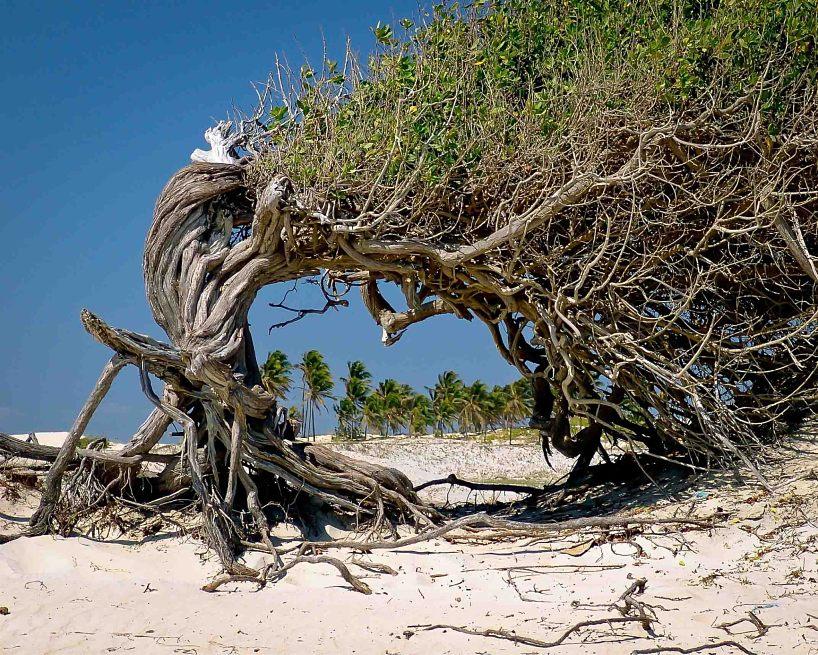 Old Tree Brazil