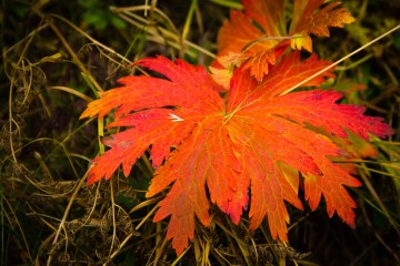 Autumn-Red-Leaf