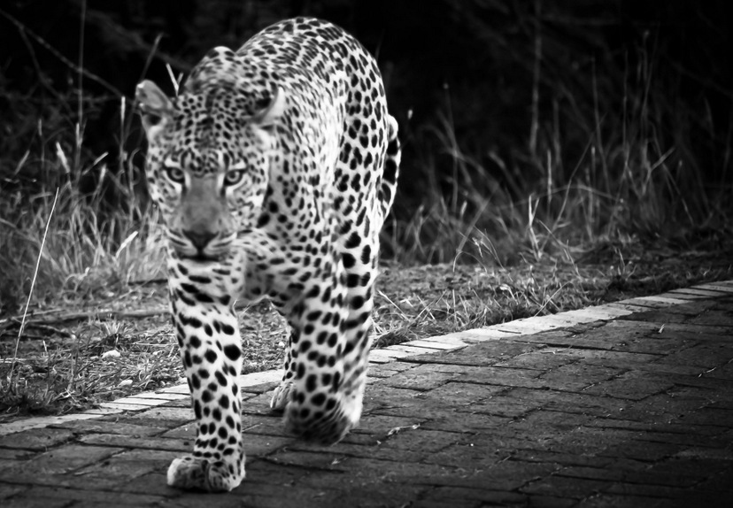 Pilanesberg Game Reserve Leopard