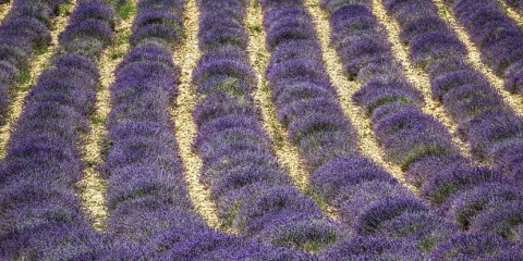 Provence-Lavender-Fields-2_opt-1