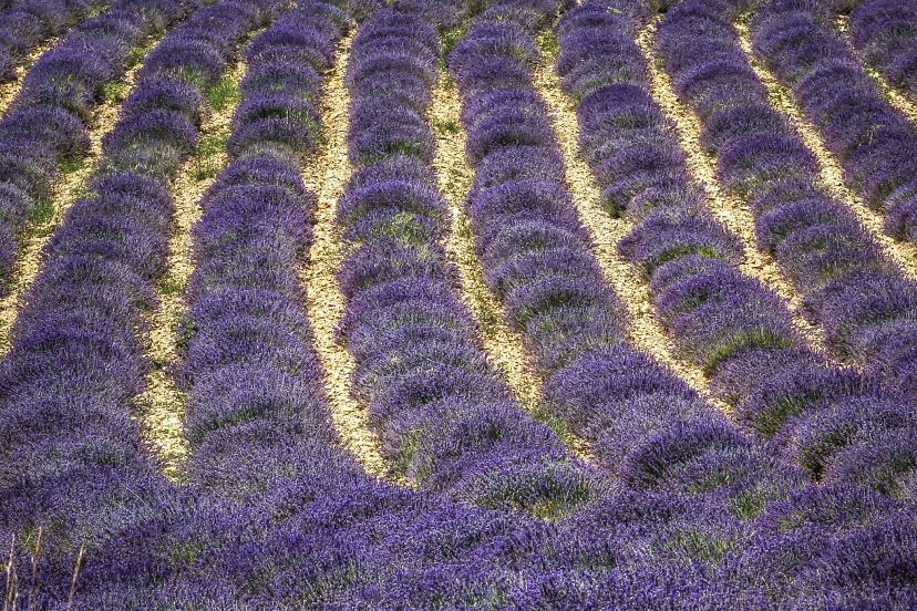 Purple and Green: Across the Lavender Fields in Provence
