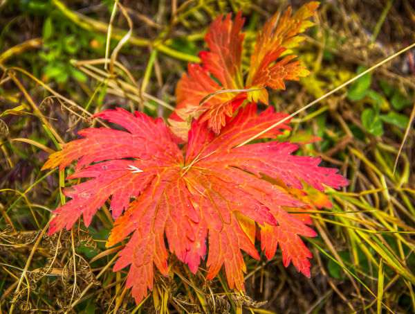 Stray Leaves  Selected Essays from Sanctuary Magazine Oak     th was showered with beautifully coloured autumn leaves