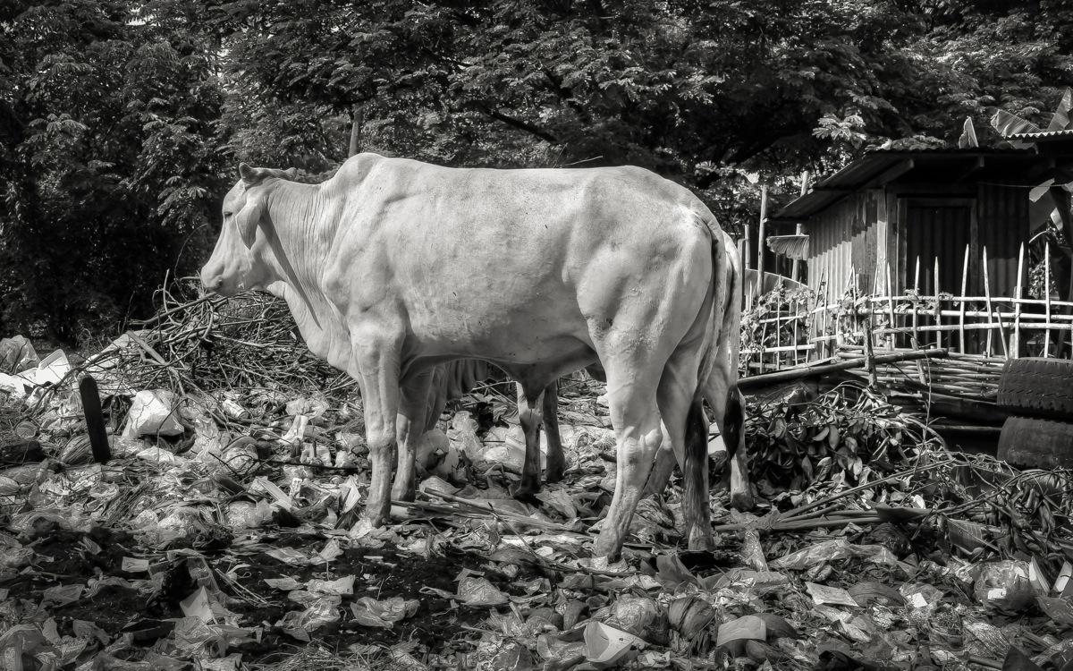 Burma, Cow Rummaging in Garbage