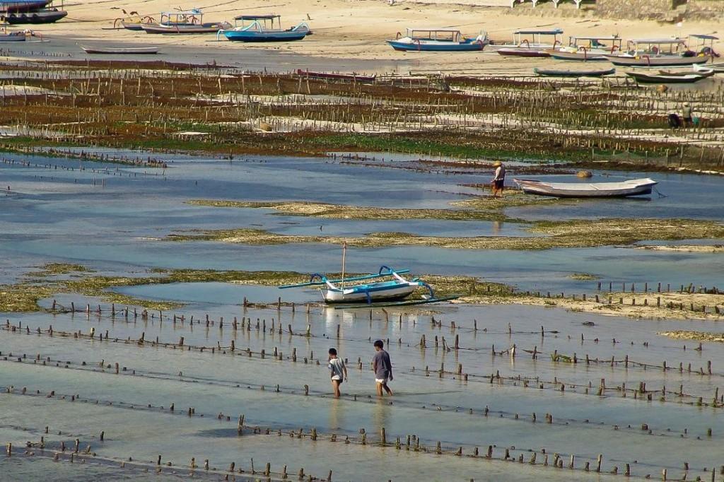 Nusa Lembongan, Seaweed Farming at Low Tide