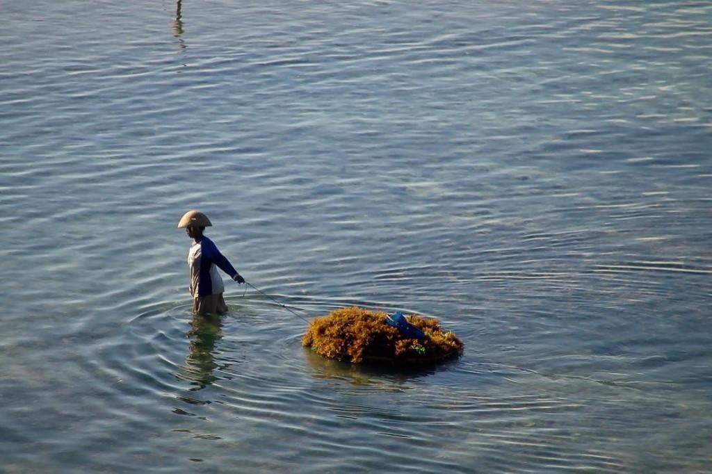 Nusa Lembongan, Woman Working at the Seaweed Farm