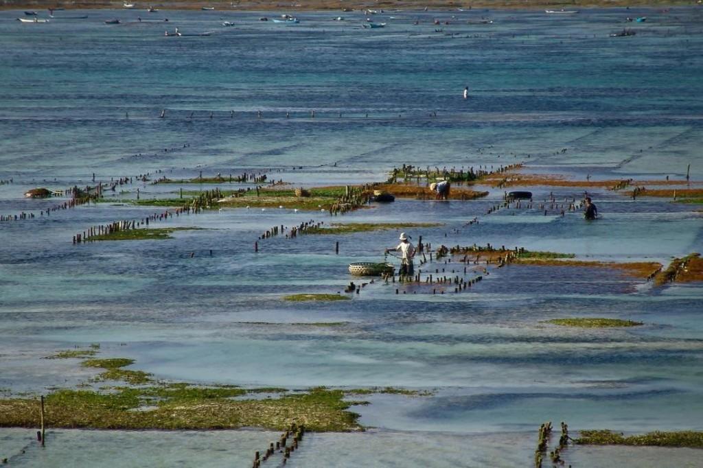 Traditional Seaweed Farming in Nusa Lembongan