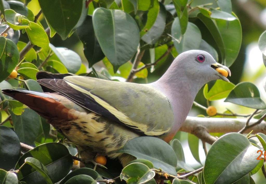 Pink-necked Green Pigeon by Michael MK Khor. Photo courtesy Michael MK Khor