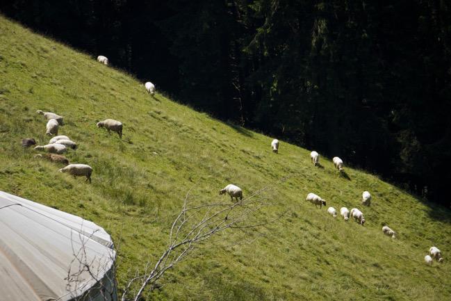 Emmental, Sheeps