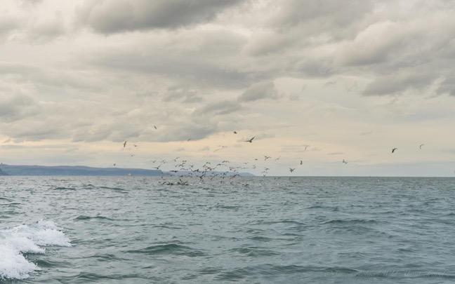 seagulls-and-the-irish-sea