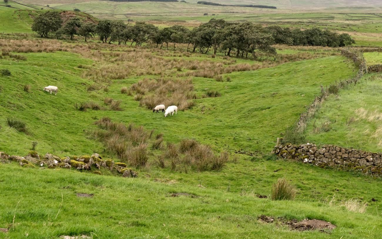 northern-ireland-sheep