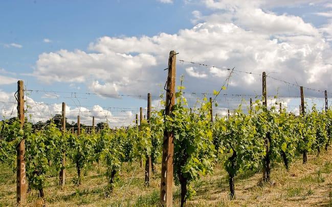 Brisighella Vineyards