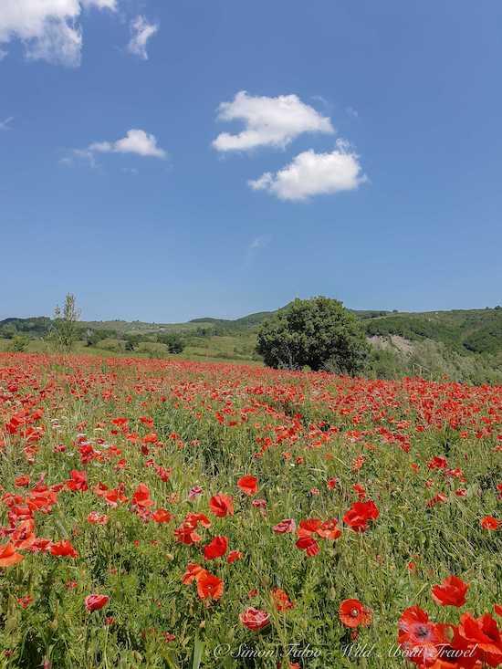 Red Poppis fields in Emilia Romagna